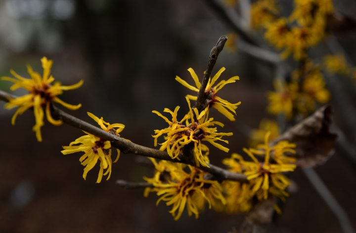 witch hazel blossoms